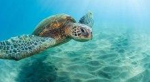 690x380-Hawaii-Turtle